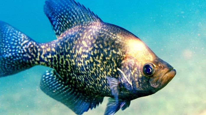 best for crappie baits